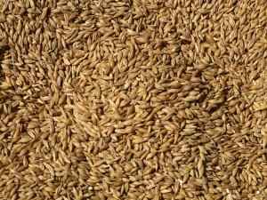 wheat1609