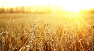 wheat509