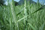 winterwheat109
