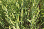 WinterWheat30101