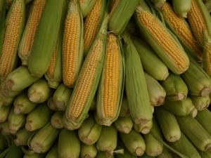 corn1509