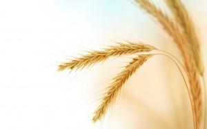 wheat210