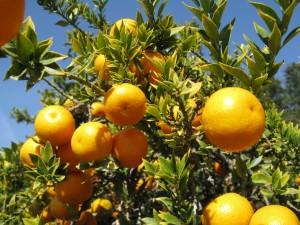 citrus1411
