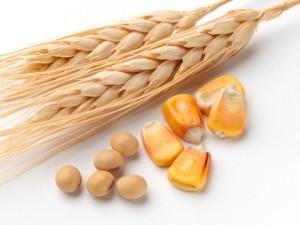 wheat511