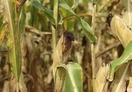 corn2312