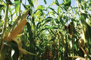 corn2412