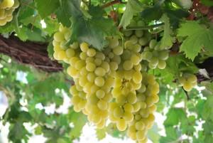 grape312