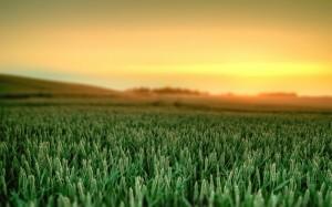 wheat2212