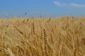 wheat412
