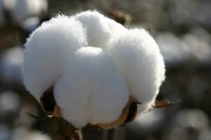 cotton1303