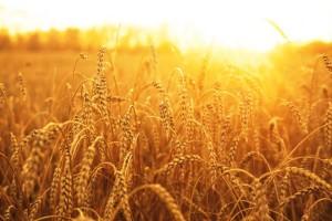 wheat1792