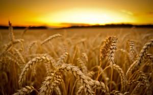 wheat2502