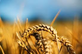 wheat402