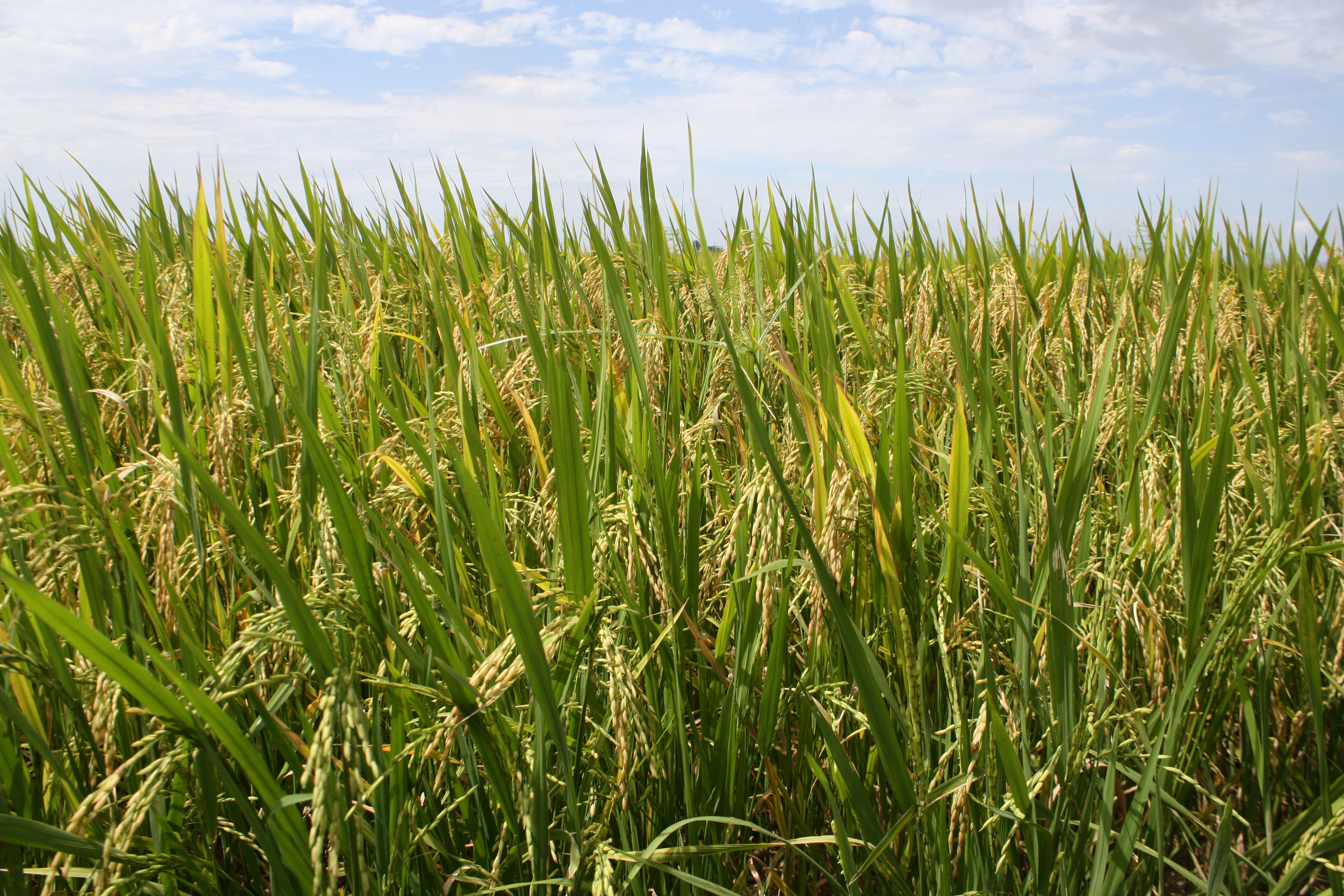 Vietnam rice boom heaping pressure on farmers, environment   Agrodaily
