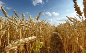wheat1203