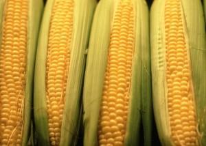 corn304
