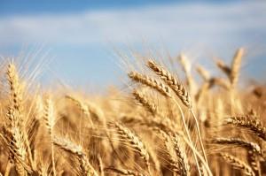 wheat204