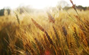 wheat2804
