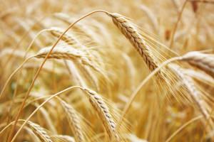 wheat705