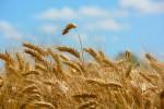 wheat1606