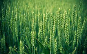 wheat1806