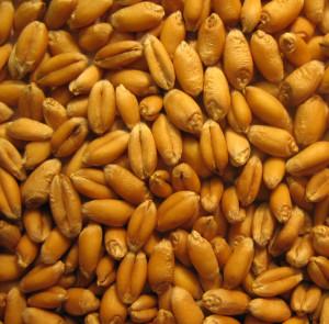 wheat207