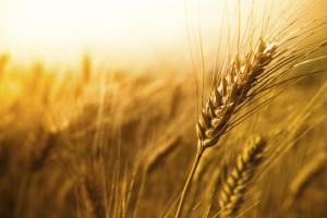 wheat0809