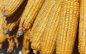 corn2210