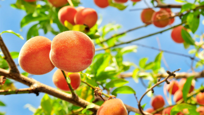 Computer application peach tree