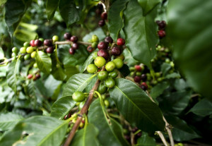coffee crop