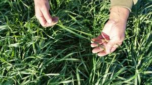 wheat3011