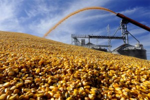 Corn prices dropped after U.S. government forecasters predicted bigger-than-expected U.S. supplies next year. PHOTO: SETH PERLMAN/ASSOCIATED PRESS