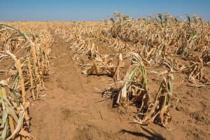 sauth africa corn
