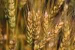 wheat-closeup