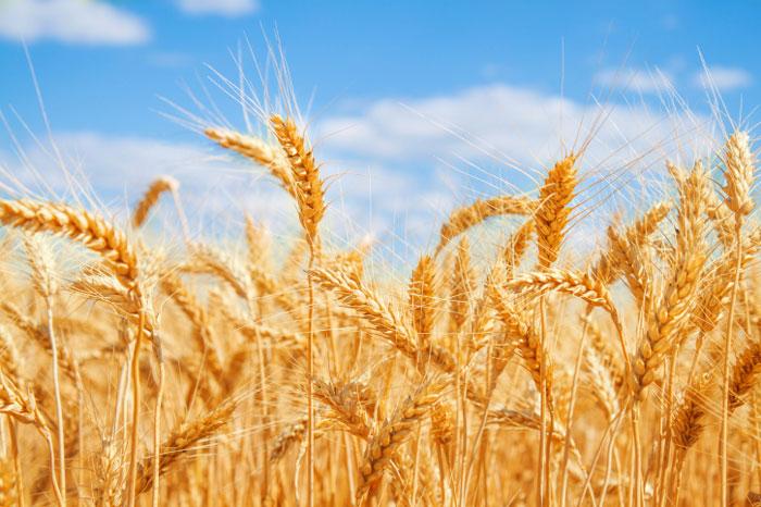 Resultado de imagen de wheat