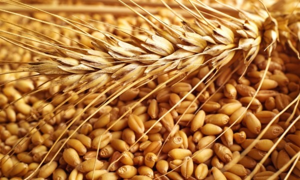 US wheat exporters hope GMO find won't hurt sales to Japan