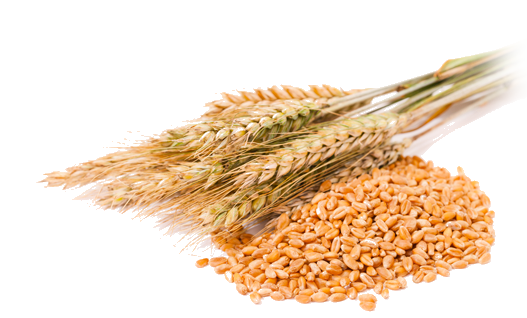 Wheat Grain Png | www.pixshark.com - Images Galleries With ...