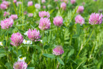 Red clover from close