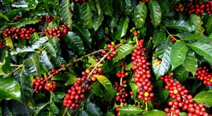 Coffee-Plant-Entrepreneurs-Should-Take-A-Look-At-Coffee-Farming