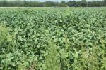 Weedy soybean field_0