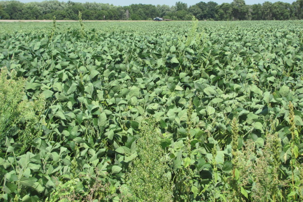 Weedy soybean field_0