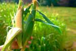 corn1809