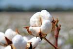 cotton709