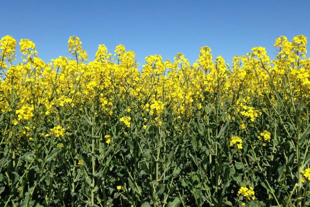rapeseed-1