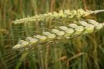 wheat1409