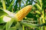 corn2410