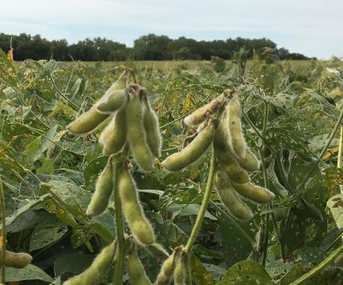 soybean610
