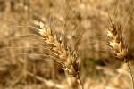 wheat3010