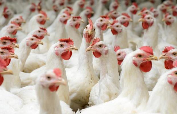 chickens_white broilers_buhanovskiy_iStock-468567374_0