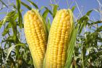 corn1411